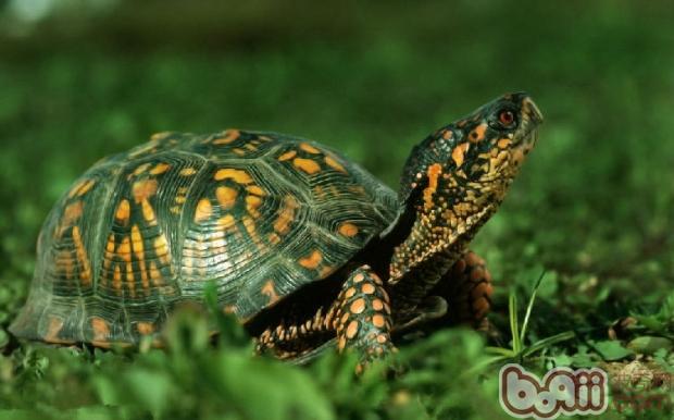 家养乌龟也要冬眠吗