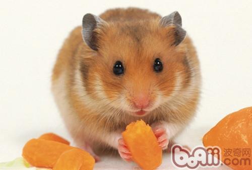 你知道仓鼠喜欢吃什么食物吗图片