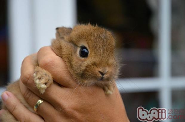 兔兔需要日常服用乳酶生吗|兔子养护