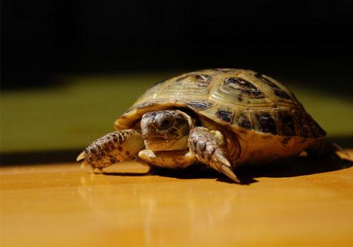 宠物 选择/选择宠物龟时常被忽略的三个重点0 421