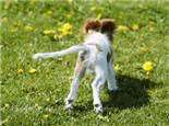 盘点狗狗尾巴的十种造型