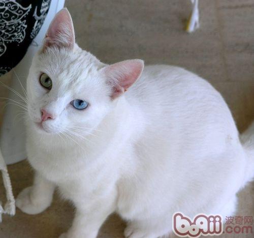 Orange Turkish Angora 带宠物猫出境须�...