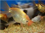 金鱼皮肤发炎充血病的防治