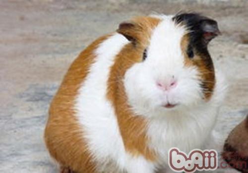 荷兰猪不进食的危险性 小宠养护