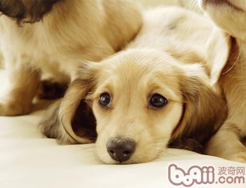 五个对策解决狗狗不停叫喊的难题|狗狗养护