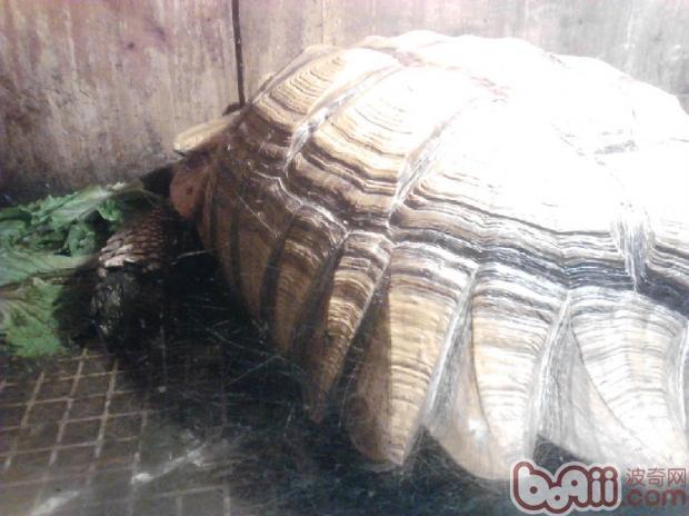 四肢无力的苏卡达陆龟