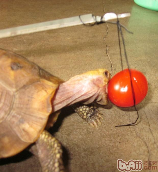 好好吃的番茄啊~