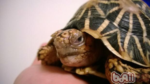 生病的辐射陆龟