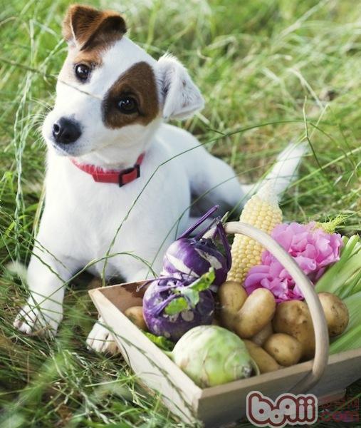 饲喂老龄犬的10条建议
