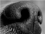 狗狗鼻头为什么是黑色的