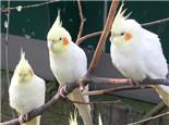 鸡尾鹦鹉的繁殖注意事项