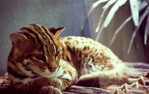 狸猫换太子——豹猫