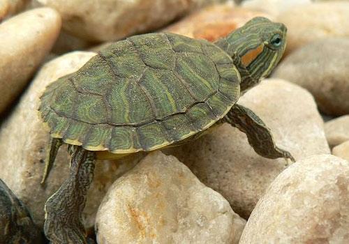 巴西龟简单易行的懒人孵蛋法