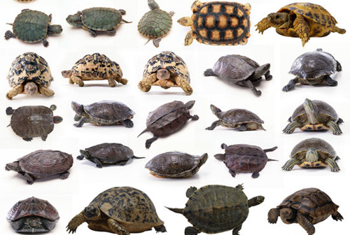 成功饲养宠物龟要注意的三个要点