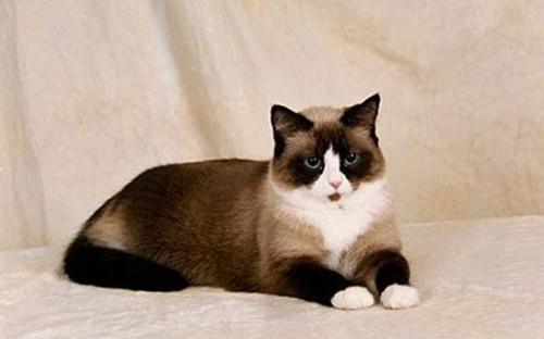 雪鞋猫外形特征