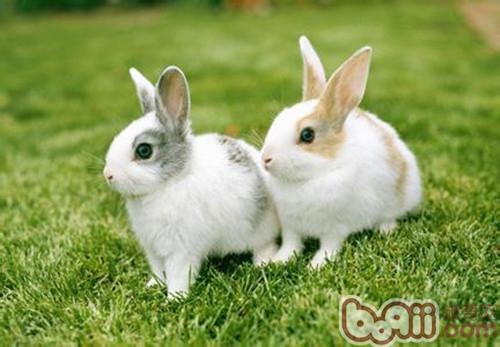 宠物兔怀孕之后要注意很多问题