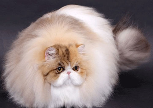 让人忧愁的猫咪换毛