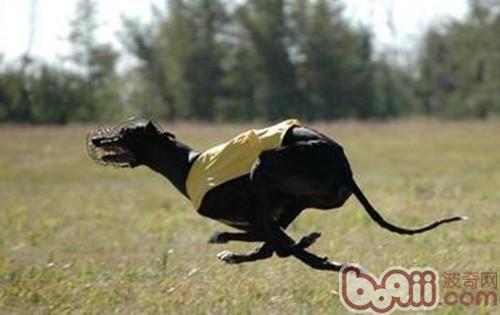 探究狗狗的运动技能