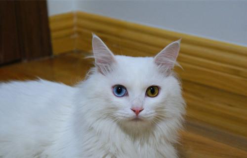 山东狮子猫分类小贴士