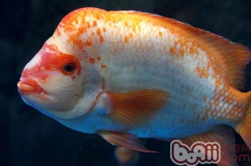 而且能完美地搭配鱼体;身体颜色珠点能延伸