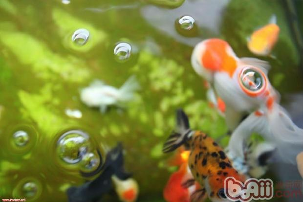 卡通吐泡泡金鱼; 卡通吐泡泡金鱼_金鱼吐泡泡唯美图片_卡通金鱼_银澜