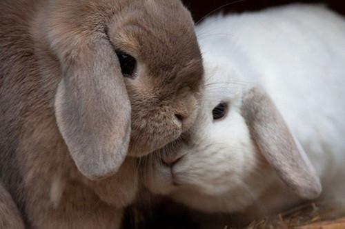 兔兔为何受孕难?