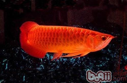 金龙鱼的品质分类