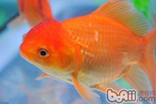 6条金鱼动态壁纸