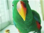 折衷鹦鹉的雌雄鉴别