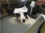 自己给狗狗美容的几种错误做法