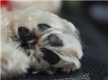 狗狗脚部受伤的处理办法