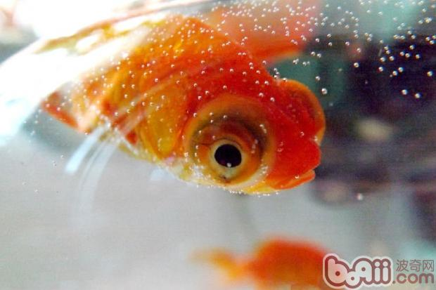金鱼(详情介绍)   我们都知道,只有日常的饲养方法科学正确了,才能使鱼儿健康成长,并且还能预防疾病,对于新手来说,究竟要如何做到正确饲养呢?   一、适当投喂饵料   投饵不可过量。饲料供应过多时,残饵在水中容易变质,污染水质,使水质恶化,引起有害细菌的繁殖,病原菌侵入鱼体致病。发生营养障碍时,要立即补充综合维生素。饲料变质,易引起鱼体营养障碍与内脏机能障碍,降低鱼体抵抗力   二、保持水质新鲜   每天少量换水,保持水质新鲜,必须注意水质,并调整好PH值等。水族箱的水因鱼而异,保持不同的温度,一般来