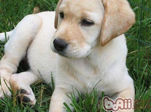 金毛寻回犬_金毛犬与拉布拉多的异同点分析 狗狗品种-波奇网百科大全