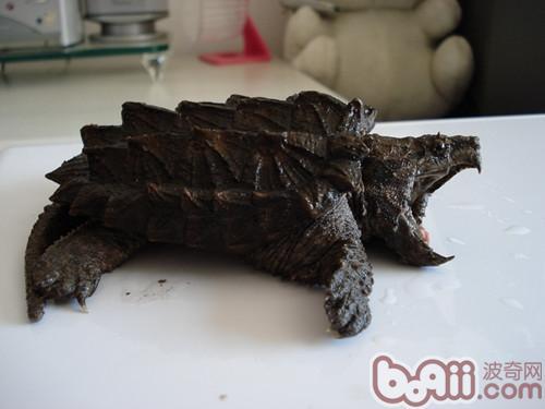 鳄龟价格调查分析