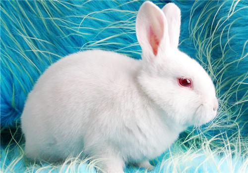 本土品种介绍——中国白兔