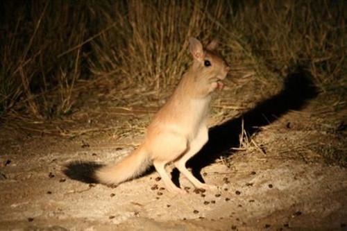 大草原上的运动健儿——跳兔