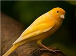 金丝雀的人工饲养方法
