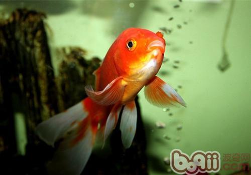 金鱼缸中的水草该如何养殖