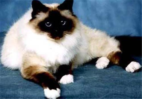 关于波曼猫毛色的美丽传说
