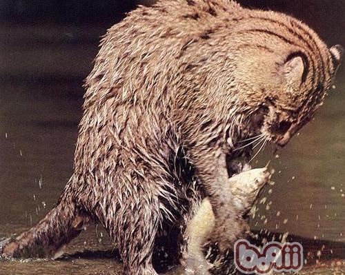 捕鱼高手——渔猫