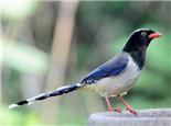 红嘴蓝鹊的品种特点