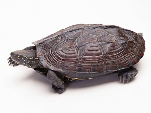 家养宠龟怎样修指甲?