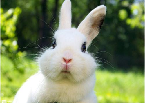 科学饲养荷兰兔从了解习性开始
