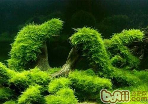 沉木沉水黄水的解决办法|水族造景