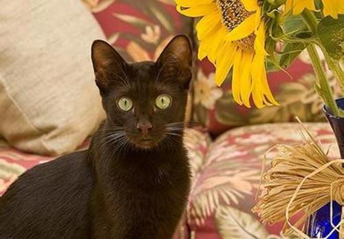 哈瓦那猫的日常护理