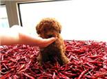 狗狗究竟能吃辣椒吗