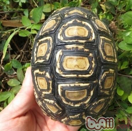 宠物龟会便秘吗?