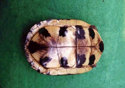 闭壳龟的种类及鉴别方法