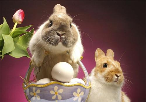 影响家兔繁殖力因素及对策