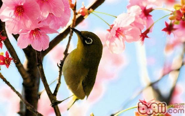 如何促使鸟类发情
